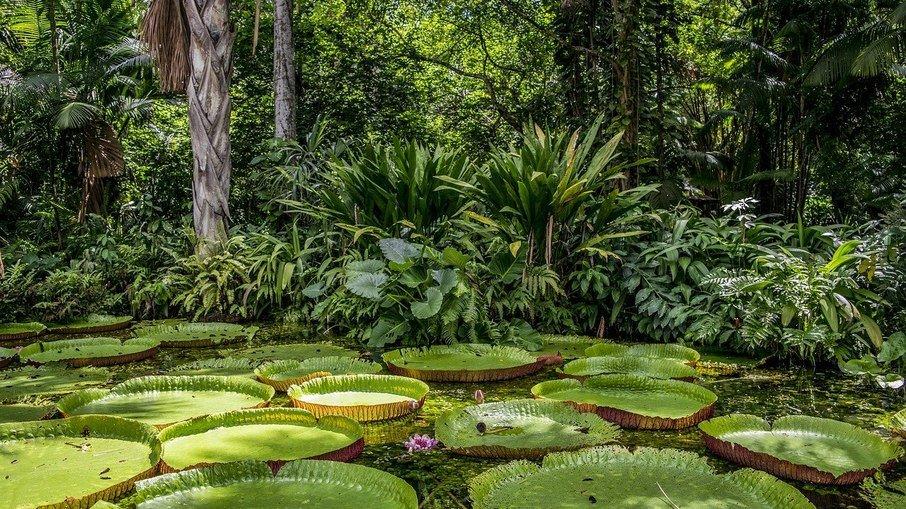 Vitórias-régias na floresta amazônica